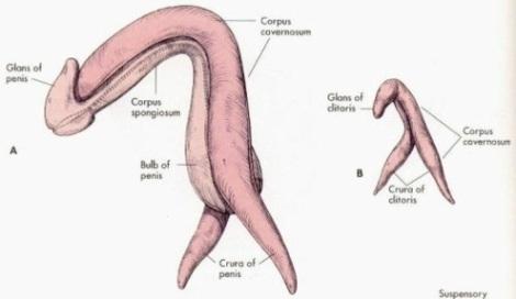 tamano_pene_clitoris