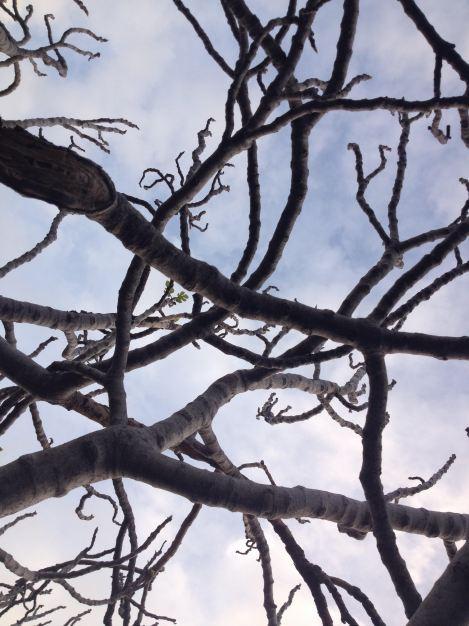Fotoğraf alttan çekilmiş yapraksız incir ağacı dallarının oluşturduğu ağı gösteriyor.